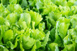 Endive plants in the field from close