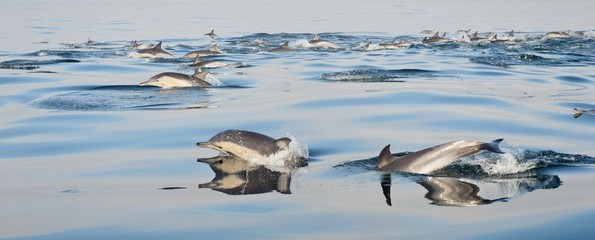 Group of dolphins, swimming in the ocean