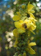 Mullein - Verbascum densiflorum - with a bee. Natural bokeh.