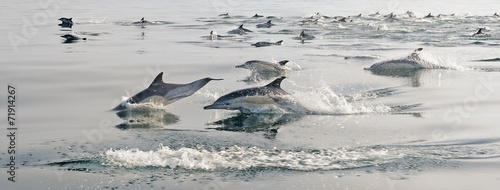 Group of dolphins, swimming in the ocean - 71914267