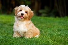 """Постер, картина, фотообои """"Happy little orange havanese puppy dog is sitting in the grass"""""""