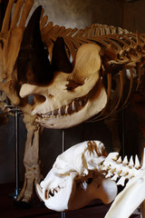 black rhino skeleton 2