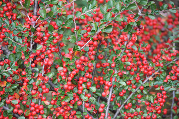 Красные ягоды кизильника