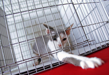 A cat in a cage at an interational cat exibition.