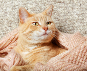 Ginger domestic cat