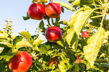 Knackige frische Äpfel an einem Baum