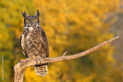 In de dag Tijger Great horned owl sitting on a stick