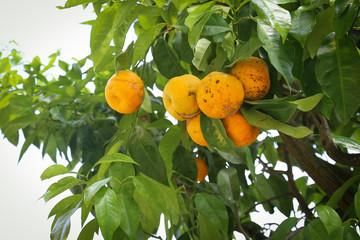 Lemon tree with yellow lemons