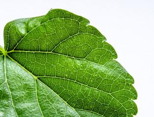 Macro Texture of Leaf