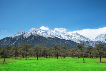 Pine forest and Jade Dragon Snow Mountain, Lijiang, Yunnan China