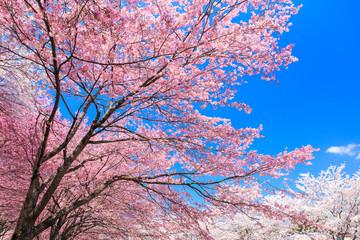 青空と思桜川