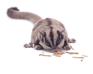 fat sugar-glider eating  mealwormon white background