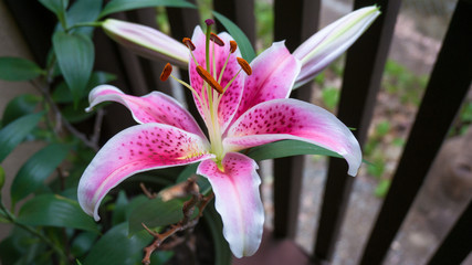 Beautiful Lily