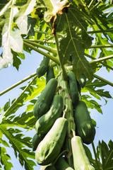 Green papaya on plant