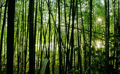 Bamboo Forest in The Afternoon