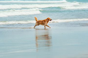 Labrador Retriever playing at the beach