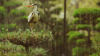 Grey Heron on top of a tree during a rainstorm