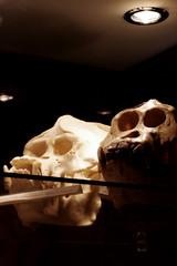 orangutan skulls