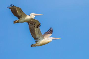 Couple of Spot-billed pelican(Pelecanus philippensis)