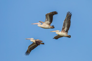 Small group of Spot-billed pelican  are flying