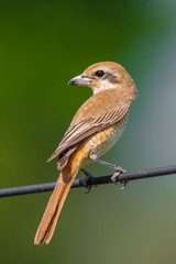 Portrait of Brown shrike(Lanius cristatus) in nature of Thailand