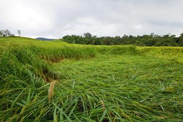 Green rice paddy falling locomotives