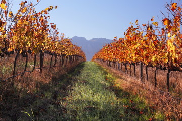 Autumn vineyard landscape