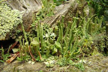 Lichen cladonie