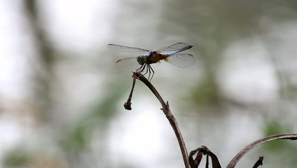 Dragonfly perched on twigs in the water