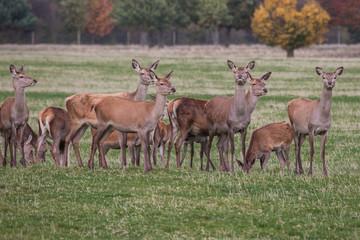 Red deer does