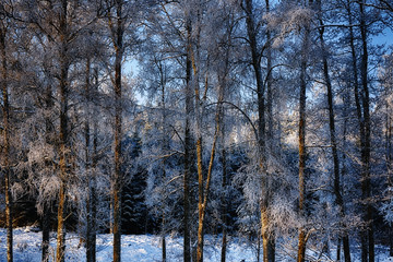 birch trees covered in frosty snow, winter scenery, sweden