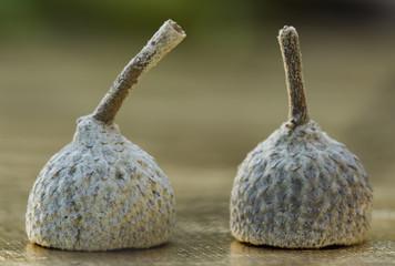 Cupules de gland