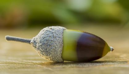 Gland - fruit du chêne