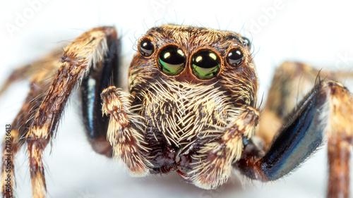 Fototapeta jumping spider