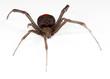 redback spider - 71936809