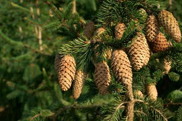 Picea abies Acrocona - autumn spruce cones