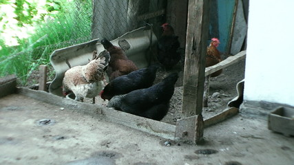 the stall, beautiful chickens together dig in the sand