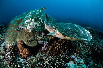 Hawksbill Turtle in Gili Lombok Nusa Tenggara Barat underwater