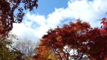 秋の風に揺れる紅葉_19