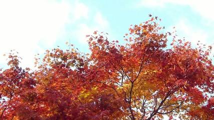 秋の風に揺れる紅葉_18