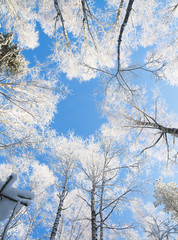blue sky in beautiful winter forest