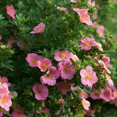 Potentilla fruticosa Pink Beauty  - cinquefoils