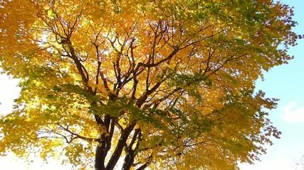 秋の風に揺れる紅葉_15