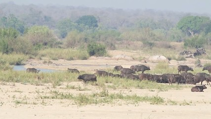 A herd of wild Buffalo make their way across a large river