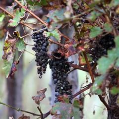 bunch of raisins in the vineyard in autumn