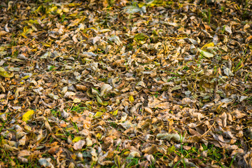Withered autumn leaves. Selective focus.