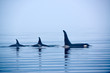 Leinwandbild Motiv Rückenflossen Schwertwale, Killerwal bzw Orca, Orcinus orcae