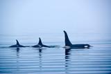 Rückenflossen Schwertwale, Killerwal bzw Orca, Orcinus orcae