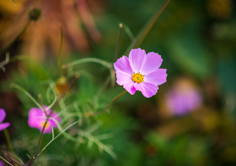 Pink cosmos flower. Shallow depth of field.