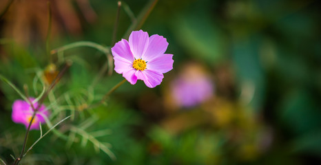 Pink cosmos flower. Selective focus.